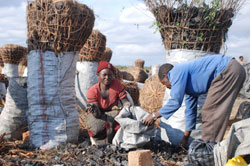 Production and trade of charcoal is a business with ecological implications (Zambia)