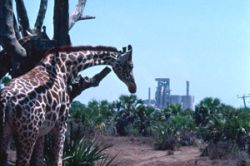 Nature and industry in harmony? Giraffes on a cement industry' s compound in Kenya