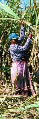 Cutting cane suger in Mauritius: hard work, small income