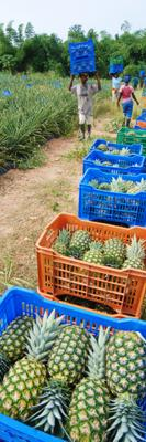 Harvest of fair trade pineapples in Ghana